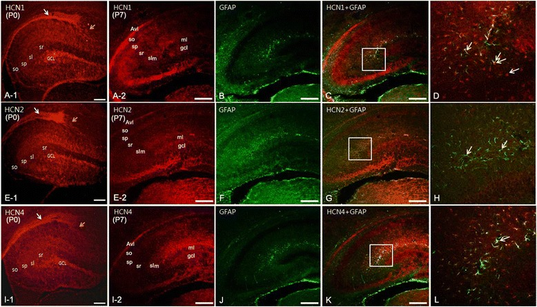 Expression of HCN subunits in the hippocampus at P0 and P7. (A-1) : At P0, the expression of HCN1 was strong in the alveus and so , sp , sl , and sr of the CA, and in the GCL of the dentate gyrus (DG). (E-1) : HCN2 expression at P0 was observed in the alveus , sp , sl , and sr of the CA, and in the GCL of the DG. (I-1) : HCN4 showed a similar pattern of expression to HCN1 at P0. Note that migrating cells (yellow arrows) from the ventricular zone (vz, white arrows) expressed all HCN isoforms, but the expression of HCN1 and HCN2 subunits was more prominent than that of HCN4. At P7, immunolabeling for HCN1 (A-2) , HCN2 (E-2) , and HCN4 (I-2) was observed in the sp and slm of the CA, and in the gcl of the DG. HCN1 (B, C, D) and HCN2 (F, G, H) subunits were expressed in neuronal somata, but not in astrocytes. Labeling for HCN4 was observed in the slm , as well as in the border of the slm with the molecular layer ( ml ) of the DG. (B, F, J) : Double immunofluorescence with GFAP showed that most GFAP-positive astrocytes were also immunolabeled with HCN4 in the slm, and in the border of the ml in the DG. B , C , D : yellow arrows indicate HCN1 labeling, white arrows indicate GFAP labeling. F , G , H : yellow arrows indicate HCN2 labeling. J , K , L : white arrow indicates an astrocyte double-labeled for HCN4 and GFAP. Abbreviations: GCL (or gcl), granule cell layer; sl, stratum lucidum; slm, stratum lacunosum moleculare; so, stratum oriens; sp, stratum pyramidale; sr, stratum radiatum. Scale bars = 20 μm.