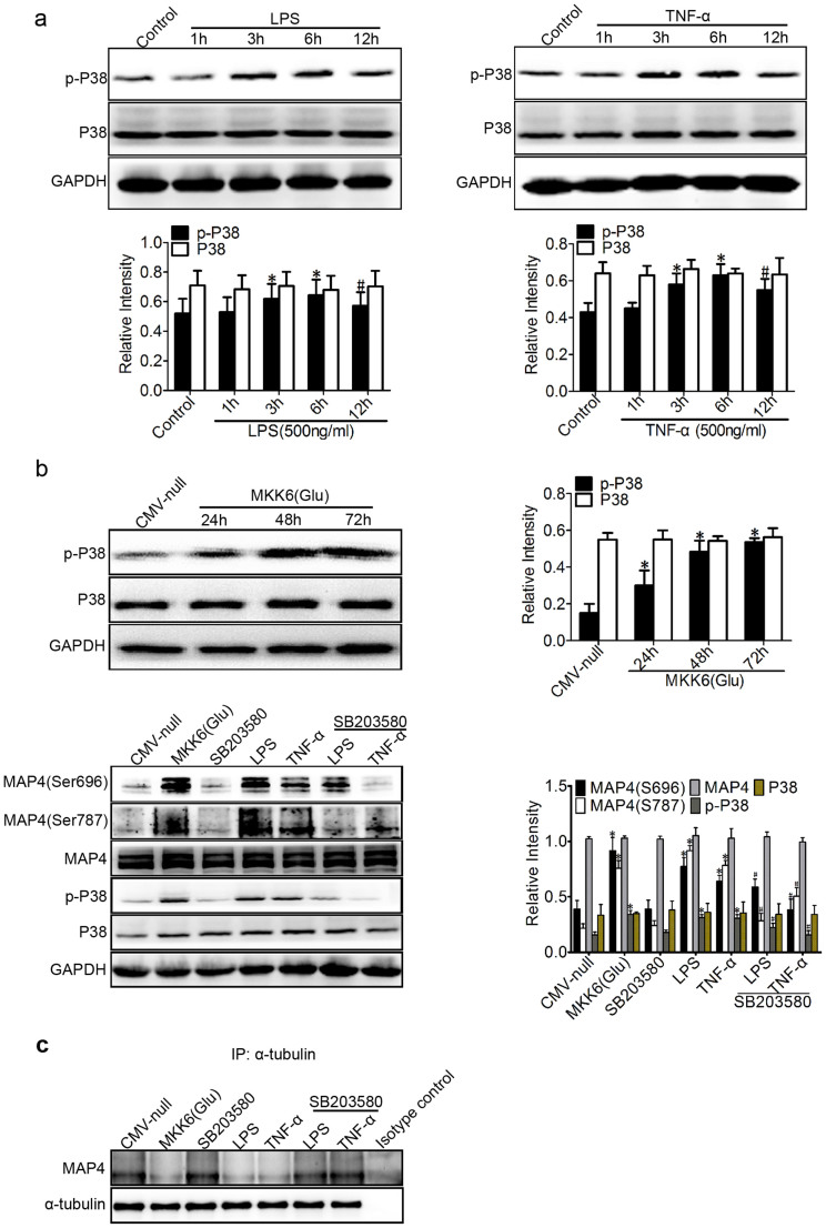 P38/MAPK activation mediates MAP4 phosphorylation in inflammation-induced ALI. (a) Western blotting was used to detect phospho-p38 (p-P38) and P38 following treatment with LPS or TNF-α (500 ng/ml for 1, 3, 6, and 12 hr). *P