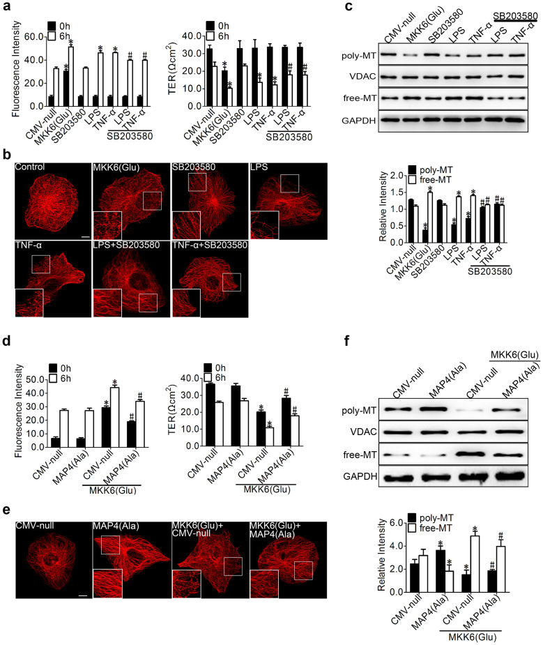 Role of p38/MAPK activation in LPS- and TNF-α-induced endothelial barrier dysfunction and MT disassembly. (a) Cells were pretreated with SB203580 (5 μM) for 1 hr, and CMV-null or MKK6 (Glu) was transfected into HPMECs for 72 hr before the LPS or TNF-α (500 ng/ml) treatment. The permeability of endothelial cells was assessed by measuring the influx of FITC-conjugated dextran and the TER across the cells. The data are represented as the mean ± SEM (n = 3). *P
