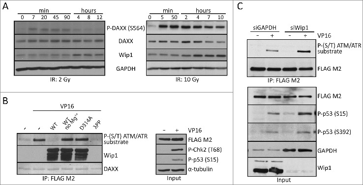 DAXX is a substrate of Wip1 phosphatase. ( A ) BJ fibroblasts were exposed to 10 Gy or 2 Gy of IR and lysed at the indicated time points after DNA damage. Western blotting analysis using antibodies against phospho-DAXX (S564), DAXX, Wip1 or GAPDH showed that the DAXX S564 dephosphorylation coincides with increased expression of Wip1. ( B ) In vitro phosphatase assay was performed with recombinant wild-type Wip1 or phosphatase-dead Wip1-D314A mutant on FLAG-DAXX WT immunopurified from transfected U2OS cells exposed to DNA damage. Samples were separated by SDS–PAGE and probed with indicated antibodies. As control, phosphatase buffer without Mg 2+ was used or treatment with lambda protein phosphatase (λPP). ( C ) Wip1 was depleted by siRNA in U2OS cells stably expressing FLAG-DAXX WT . Western blotting analysis using indicated antibodies showed that after DNA damage more phosphorylated DAXX is present in Wip1 siRNA treated cells compared to control GAPDH siRNA transfected cells.