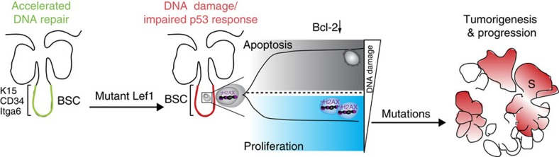 Model for SC-driven epidermal tumour initiation by mutant Lef1. Expression of mutant Lef1 results in defective DNA damage response and impairment of SC-specific surveillance mechanisms, including p53 activation. SCs γH2AX carrying high levels of DNA damage undergo apoptosis, mainly by blocking the normal Bcl-2 response. Bulge SCs (BSCs) with lower degree of damaged DNA escape normal control of SC proliferation to maintain the epidermal tissue. Consequently, these proliferative SCs carrying DNA breaks accumulate further mutations, thereby initiating tumour formation.