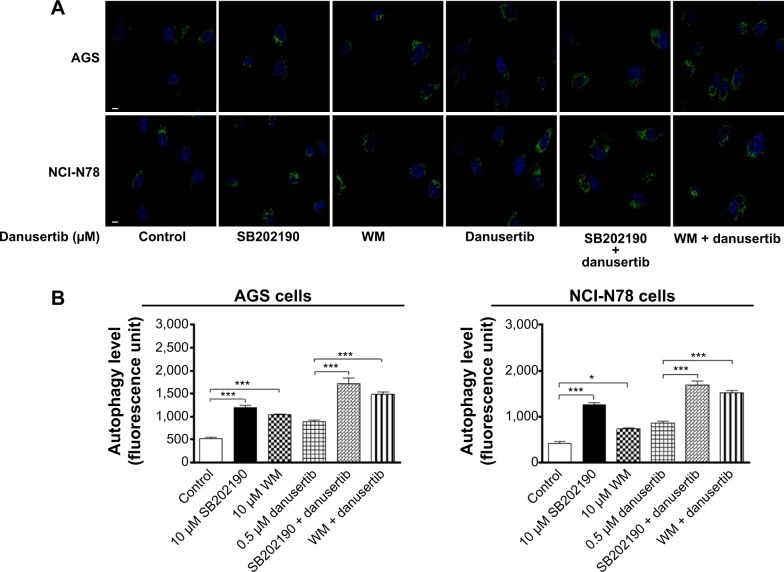 Danusertib induces autophagy via PI3K-mediated and p38 MAPK-mediated signaling determined by confocal microscopy. Notes: AGS and NCI-N78 cells were pretreated with SB202190 and WM for one hour and then incubated for another 24 hours in the presence or absence of 0.5 μM danusertib. The cell samples were subjected to confocal microscopy. ( A ) Representative images showing autophagy of AGS and NCI-N78 cells and ( B ) bar graphs showing the percentage of autophagic AGS and NCI-N78 cells. Data represent the mean ± standard deviation of three independent experiments. Magnification 60×; scale bar 5 μM. * P