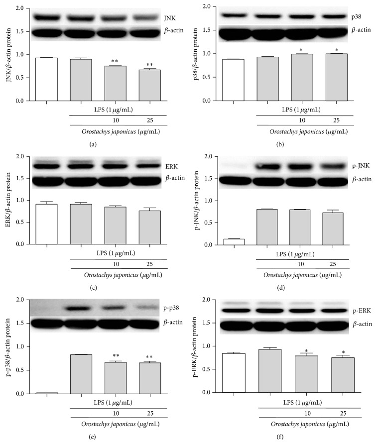 Effects of O. japonicus on the LPS-induced phosphorylation of JNK, p38 MAPK, and ERK in THP-1 cells. Cells were pretreated for 20 h with various concentrations of O. japonicus (10 or 25 μ g/mL) before exposure to LPS (1 μ g/mL) for 4 h, and JNK, p38 MAPK, and ERK protein levels were determined by immunoblotting. Densitometric analyses are presented as the relative ratios of JNK (a) or p-JNK (d), p38 MAPK (b) or p-p38 MAPK (e), and ERK (c) or p-ERK (f) to β -actin. The data represent the means ± SD of three independent samples. * P