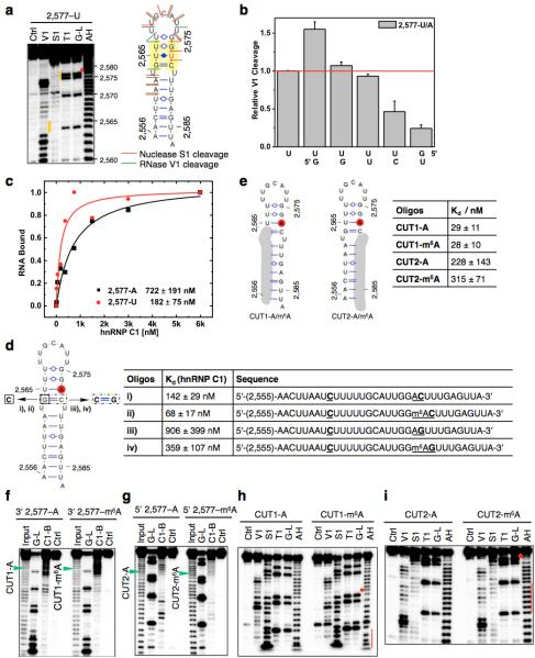 """Increased accessibility of U-tracts enhances hnRNP C binding a, Structure probing of the 2,577A-to-U mutated MALAT1 hairpin (2,577-U), same annotation as in Fig. 1d . b, Quantification of the RNase V1 cleavage signal for the U-tract region from RNA structural mapping assays as in a . To correct for sample loading difference, each band signal was normalized to the band signal of the 3' most U of the U-tract. n = 2, technical replicates. c, Filter-binding curves displaying the binding affinities between recombinant hnRNP C1 and 2,577-U/A oligos. n = 3, ± s.d., technical replicates. d, Filter-binding results showing the binding affinities between recombinant hnRNP C1 and four mutated MALAT1 oligos. (i) Mutate G-C to C-C, A2,577: predicted to weaken the hairpin stem and increase hnRNP C binding. Results: binding improved from 722 nM K d to 142 nM (5-fold); (ii) Mutate G-C to C-C, m 6 A2,577: in this context of weaker stem, m 6 A is predicted to confer a smaller effect compared to wild-type hairpin. Result: improved binding only 2-fold instead of 8-fold; (iii) Restore C-C to C-G, A2,577: predicted to restore the hairpin stem and decrease hnRNP C binding compared to C-C mutant. Result: binding decreased by 6.4-fold; (iv) Restore C-C to C-G, m 6 A2,577: in this context of restored stem, m 6 A is again predicted to confer increased binding compared to A2,577 hairpin. Result: improved binding by 2.5-fold. n = 3 each, ± s.d., technical replicates. e, RNA alkaline hydrolysis terminal truncation assay showing recombinant hnRNP C1 binding to terminal truncated MALAT1 hairpin oligos (2,577 site m 6 A methylated or unmethylated). In this assay, 3′ radiolabeled MALAT1 2,577 hairpin oligos were terminal truncated by alkaline hydrolysis into RNA fragments which were then incubated with hnRNP C1 protein followed by filter binding wash steps. The remaining RNA on the filter paper was isolated and analyzed by denaturing gel electrophoresis, as indicated in the lane """"C1-bound or C1-B"""". """""""