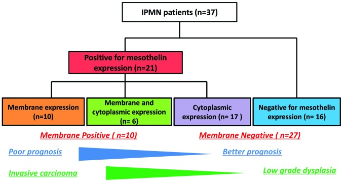 Flow chart of mesothelin expression in IPMN cells. IPMN, intraductal papillary mucinous neoplasm.