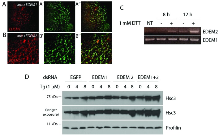Characterization of Drosophila endoplasmic reticulum (ER) degradation-enhancing α-mannosidase-like proteins (EDEMs). (A and B) Subcellular localization of EDEMs. Immunohistochemistry of the embryonic amnioserosa cells revealed that myc-tagged EDEM protein (red) co-localizes with the ER resident chaperone Hsc3 (green). (C) Induction of EDEM2 expression by ER stress. Drosophila cells were treated with 1 mM dithiothreitol (DTT) for the indicated periods of time. The transcription of EDEM2, but not that of EDEM1, was induced by ER stress. NT, not treated (D) Hsc3 induction by thapsigargin (Tg) treatment increased after the knockdown of EDEM1 or EDEM2. The upper and middle panels show anti-Hsc3 western blots, whereas the lower panel shows anti-profilin as a loading control.