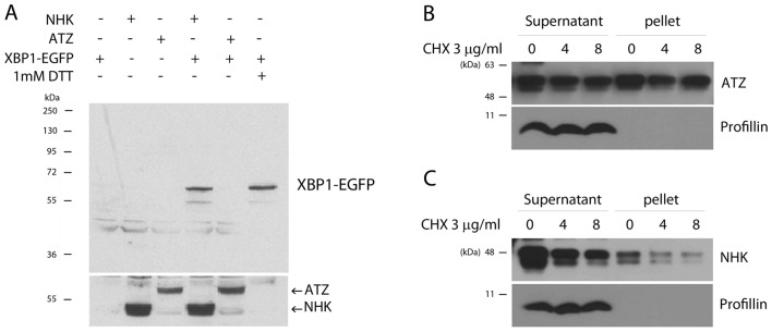 The Z variant of α-1-antitrypsin Ζ (ATZ) does not activate X-box binding protein 1 (XBP1)-EGFP, a marker of endoplasmic reticulum (ER) stress. (A) The XBP1-EGFP marker is activated by α-1-antitrypsin (A1AT) null Hong Kong (NHK) allele expression or by treatment with 1 mM dithiothreitol (DTT) treatment, but not by the expression of the ATZ allele. XBP1 splicing was evaluated by western blot analysis using anti-GFP antibodies (upper panel). The levels of ATZ and NHK expression were determined using anti-A1AT antibodies (lower panel). (B and C) Solubility of ATZ and NHK. Drosophila S2 cells transfected with ATZ or NHK were treated with cycloheximide (3 μ g/ml) for 0–8 h. The cells were separated into a supernatant and pellet fraction. (B) While western blot analysis with anti-A1AT antibody detected ATZ in both fractions, (C) almost all NHK was observed in the soluble (supernatant) fraction. Anti-profilin was used as a loading control.