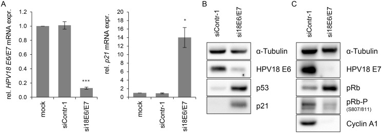 Silencing of HPV18 <t>E6/E7</t> expression by <t>RNA</t> interference. (A) qRT-PCR analysis of HPV18 E6/E7 (left panel) and p21 (right panel) mRNA expression, 72 h after transfection of HeLa cells with si18E6/E7, control siRNA siContr-1, or upon mock treatment. mRNA levels were normalized to ACTB and calculated relative to the mock control. Data represent mean ± SEM (n = 4). Asterisks above columns indicate statistically significant differences from siContr-1-treated cells (p ≤ 0.05 (*), p ≤ 0.001 (***)). (B) Immunoblot analysis of HPV18 E6, p53, and p21 protein levels, 72 h after transfection of HeLa cells with si18E6/E7 or siContr-1. α-Tubulin: loading control. (C) Immunoblot analysis of HPV18 E7, total pRb (pRb), phosphorylated pRb (pRb-P), and Cyclin A1 protein levels, 72 h after transfection of HeLa cells with si18E6/E7 or siContr-1. α-Tubulin: loading control.