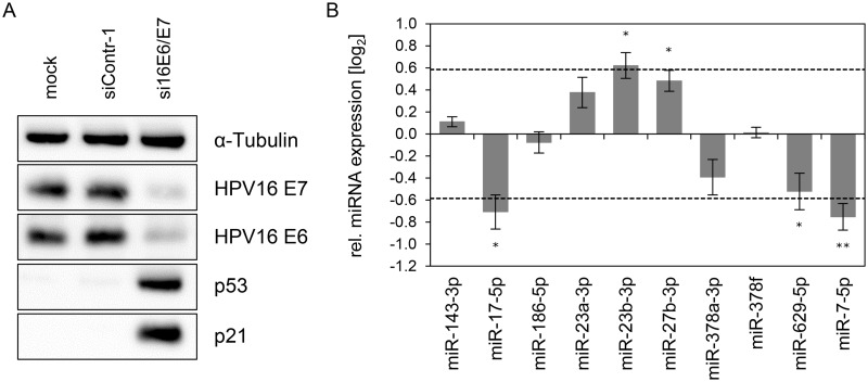 Inhibition of endogenous HPV16 E6/E7 expression: Effects on selected intracellular miRNAs. (A) Immunoblot analysis of HPV16 E7, HPV16 E6, p53 and p21 protein levels, 72 h after transfection of SiHa cells with si16E6/E7 or control siRNA (siContr-1), or upon mock treatment. α-Tubulin: loading control. (B) qRT-PCR analyses of ten selected cellular miRNAs, 72 h after transfection of SiHa cells with si16E6/E7 or siContr-1. Cellular miRNA levels were normalized to the snRNA RNU6–2 and calculated relative to siContr-1 (log 2 display). Dashed lines: 1.5-fold up- or downregulation (log 2 (1.5) = 0.585). Data represent mean ± SEM (n = 3). Asterisks indicate statistically significant differences (p ≤ 0.05 (*) and p ≤ 0.01 (**)).