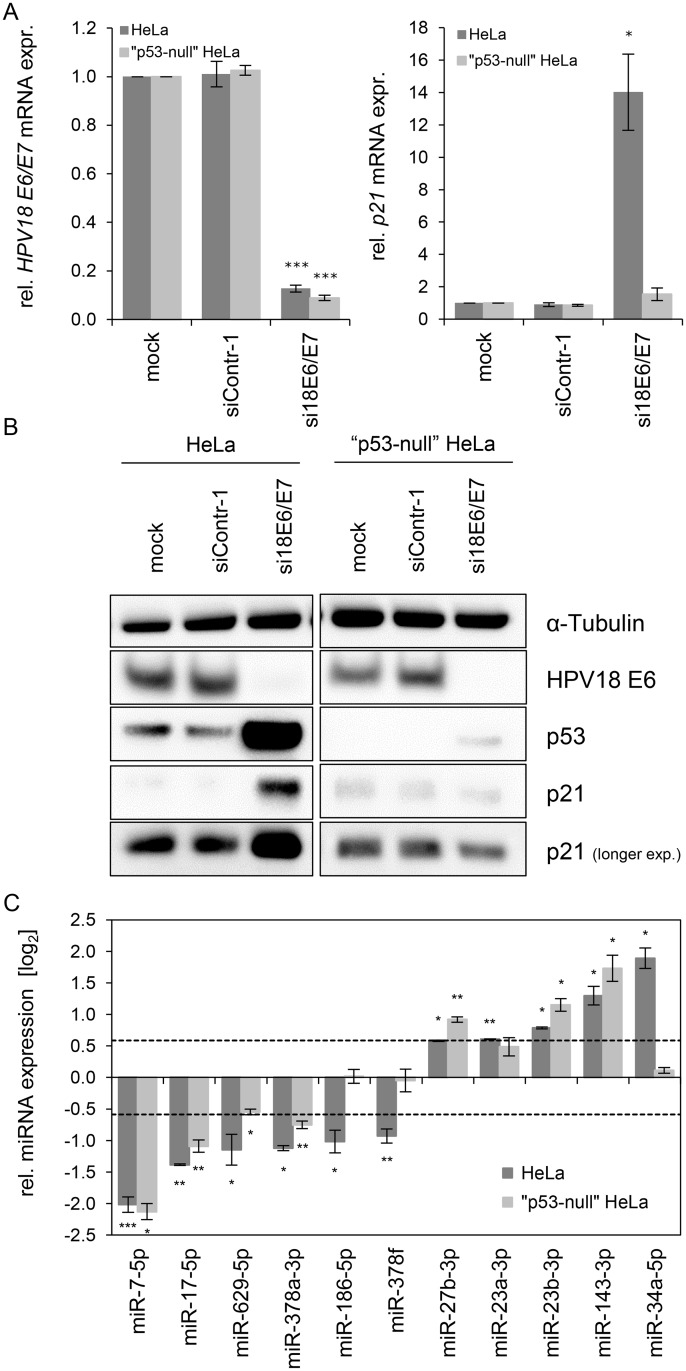 """Effects of the p53 status on the E6/E7 -dependent modulation of intracellular miRNAs. (A) qRT-PCR analysis of HPV18 E6/E7 (left panel) and p21 (right panel) mRNA expression, 72 h after transfection of parental or """"p53-null"""" HeLa cells with si18E6/E7, control siRNA (siContr-1), or upon mock treatment. mRNA levels were normalized to ACTB and calculated relative to the mock control (mock). Data represent mean ± SEM (n = 3). Asterisks above columns indicate statistically significant differences from siContr-1-treated cells (p ≤ 0.05 (*), p ≤ 0.001 (***)). (B) Immunoblot analysis of HPV18 E6, p53 and p21 protein levels, 72 h after transfection of parental or """"p53-null"""" HeLa cells with si18E6/E7 or siContr-1, or upon mock treatment. α-Tubulin: loading control. (C) qRT-PCR analyses of selected cellular miRNAs, 72 h after transfection of parental or """"p53-null"""" HeLa cells with si18E6/E7 or siContr-1. miR-34a-3p, positive control miRNA (p53-inducible). Cellular miRNA levels were normalized to snRNA RNU6–2 and calculated relative to siContr-1 (log 2 display). Dashed lines: 1.5-fold up- or downregulation (log 2 (1.5) = 0.585). Data represent mean ± SEM (n = 3). Asterisks indicate statistically significant differences (p ≤ 0.05 (*), p ≤ 0.01 (**) and p ≤ 0.001 (***))."""