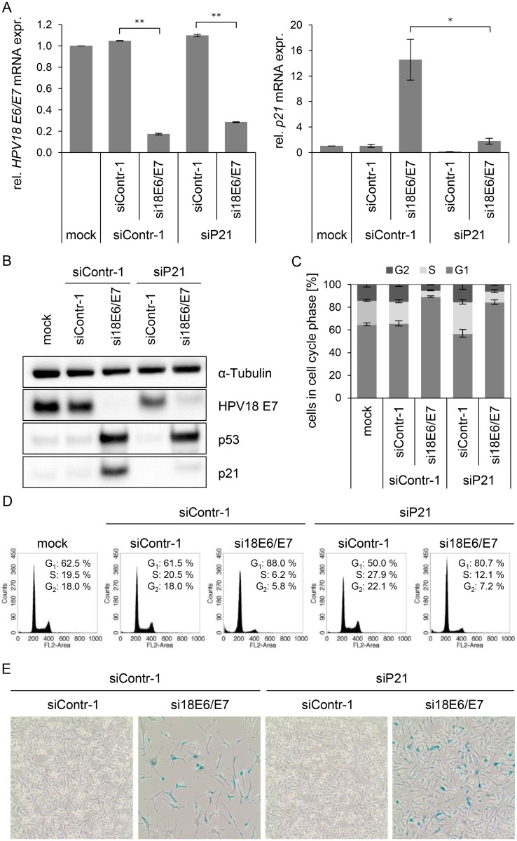 Influence of combined silencing of p21 and HPV18 E6/E7 expression on the senescent phenotype of HPV-positive cancer cells. (A) qRT-PCR analysis of HPV18 E6/E7 (left panel) and p21 (right panel) mRNA expression, 72 h after transfection of HeLa cells with the indicated siRNAs or in mock-treated cells. mRNA levels were normalized to ACTB and calculated relative to the mock control. Data represent mean ± SEM (n = 2 or 3). Asterisks above columns indicate statistically significant differences between the indicated treatments (p ≤ 0.05 (*), p ≤ 0.01 (**)). (B) Immunoblot analysis of HPV18 E7, p53, and p21 protein levels, 72 h after transfection of HeLa cells with the indicated siRNAs or upon mock-treatment. α-Tubulin: loading control. (C + D) Cell cycle distribution analyzed by FACS, 72 h after transfection of HeLa cells with the indicated siRNAs or upon mock treatment. Percentage of cells in the G 1 , S and G 2 cell cycle phases are indicated. Representative samples of one experiment are shown as well as a summary of multiple biological replicates. Data represent mean ± SEM (n = 3). (E) HeLa cells were stained for expression of the senescence marker SA-β-Gal, 168 h after transfection with the indicated siRNAs. Visualization by bright field microscopy.