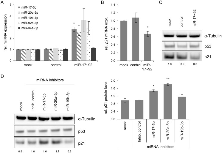 """Effects of miRNAs of the miR-17~92 cluster on p21 expression in HeLa cells. (A) qRT-PCR analyses of cellular miRNA levels, 72 h after transfection of HeLa cells with the indicated vectors or upon mock treatment. miR-17~92: vector coding for the mir -17~92 cluster; """"control"""": repective empty expression vector. miRNA levels were normalized to snRNA RNU6–2 and calculated relative to the mock control. miR-17–5p, miR-20a-5p, miR-19b-3p, miR-92a-3p: encoded by the mir -17~92 expression vector; miR-34a-5p: negative control (not encoded by the vector). Data represent mean ± SEM (n = 3). Asterisks above columns indicate statistically significant differences from vector control-treated cells (p ≤ 0.05 (*)). (B) qRT-PCR analysis of p21 mRNA expression, 72 h after transfection of HeLa cells with the indicated vectors or upon mock treatment. mRNA levels were normalized to ACTB and calculated relative to the mock control. Data represent mean ± SEM (n = 4). Asterisks above columns indicate statistically significant differences from vector control-treated cells (p ≤ 0.05 (*)). (C) Immunoblot analysis of p53 and p21 protein levels, 72 h after transfection with the indicated vectors. α-Tubulin: loading control. A representative image is shown with corresponding densitometrically quantified band intensities of p21, normalized to α-Tubulin and calculated relative to mock. (D) miRNA inhibitors against miR-17–5p and miR-20a-5p increase the expression of p21 in HeLa cells. Left panel: Immunoblot analysis of p53 and p21 protein levels, 72 h after transfection of HeLa cells with the indicated miRNA inhibitors, an inhibitor control ('Inhib. control'), or upon mock treatment. α-Tubulin: loading control. A representative image is shown. Numbers below individual lanes correspond to densitometrically quantified band intensities for p21, normalized to α-Tubulin and calculated relative to the Inhib. control. Right panel: Summary of densitometric quantification of p21 protein signal intensities. Da"""