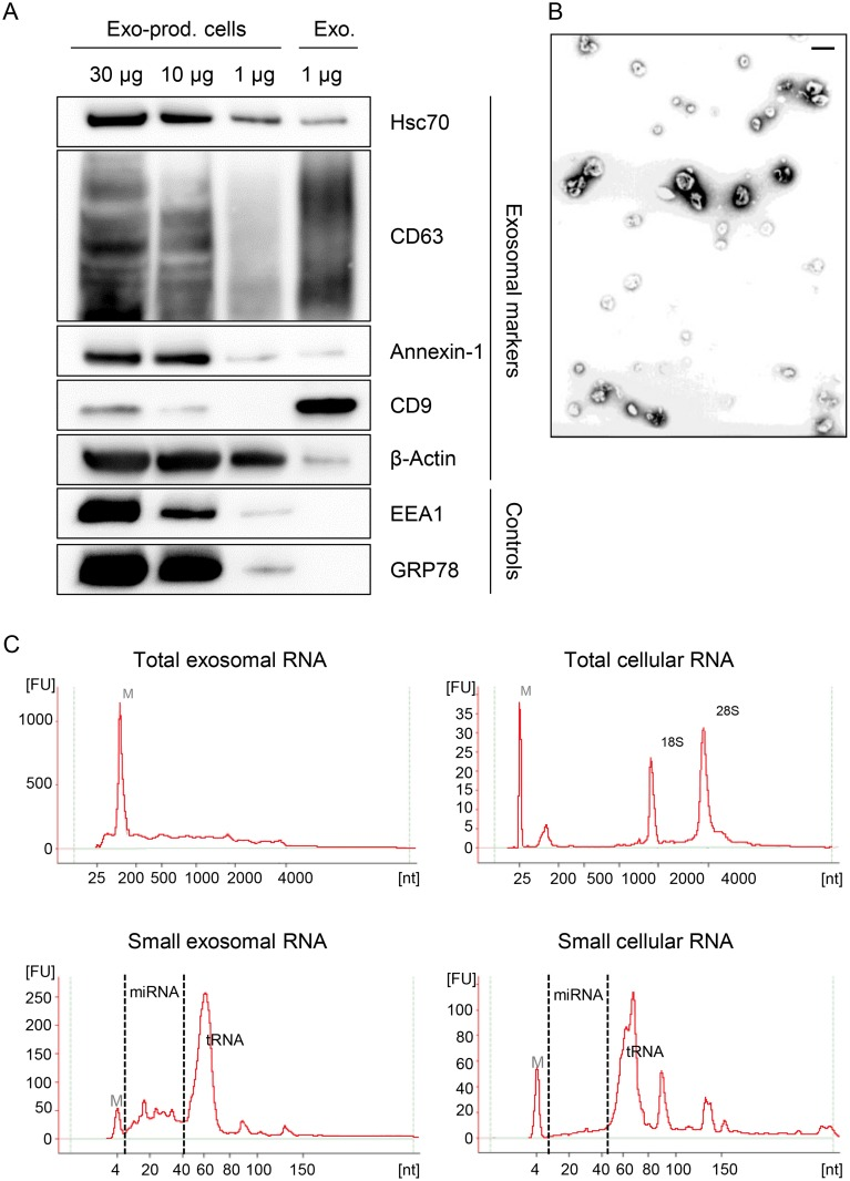 Characterization of exosomes secreted by HeLa cells used for small RNA deep sequencing. (A)  Immunoblot analysis of total cellular extract (30, 10 and 1 μg) from exosome-producing cells, and of 1 μg protein from exosome preparations. Hsc70, CD63, Annexin-1, CD9 and β-Actin: exosomal markers; EEA1: early endosome marker; GRP78: ER marker.  (B)  Visualization of exosomes by electron microscopy. Bar corresponds to 100 nm. (C) Characterization of cellular and exosomal RNA. Electropherograms of total RNA isolated from HeLa cells and from RNAse A-treated exosomes. Upper panel: total RNA contents; lower panel: small RNA contents. M = marker. Shown are representative images for siContr-1-treated samples.