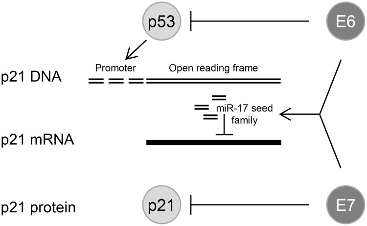 HPV oncogenes control p21 expression at multiple levels. E6 can repress p21 transcription at the promoter level by inducing the degradation of the p21 transcriptional activator p53; sustained E6/E7 expression maintains the concentration of miR-17 family members in HPV-positive cancer cells which repress p21 expression by targeting the p21 mRNA; the E7 protein can directly bind to the p21 protein and inhibit its function.