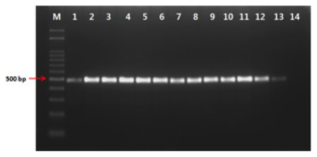 Gel electrophoresis of the polymerase chain reaction products formed with primer Pc-12-F/Pc-12-R and bacterial DNA of Pseudomonas coronafaciens strains. Lanes 1~13, P. coronafaciens LMG 5060, KACC 13262, KACC 12133, LMG 2170, LMG 5030, LMG 5061, LMG 5081, LMG 5380, LMG 5449, LMG 5452, LMG 5536, LMG 13190, LMG 2330; lane 14, water as a negative control.
