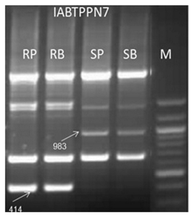 Amplification pattern of coupling phase RAPD markers IABTPPN7 983 and repulsion phase RAPD marker IABTPPN7 414 in parents and resistant and susceptible bulks. M, 100 bp ladder DNA; RP, Resistant parent - BSMR 736; RB, resistant bulk; SP, susceptible parent - Gullyal white; SB, susceptible bulk.
