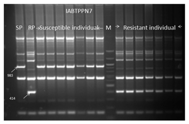 Screening of the seven resistant and seven susceptible F 2 plant DNA of the cross Gullyal white × BSMR 736 with a coupling phase RAPD markers IABTPPN7 983 and repulsion phase RAPD marker IABTPPN7 414 , linked to PSMD. SP=PSMD susceptible parent Gullyal white, RP=PSMD resistant parent BSMR 736, Lane M=100 bp DNA ladder.