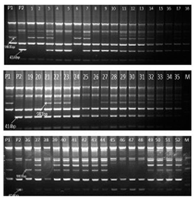 Segregation of coupling phase RAPD markers IABTPPN7 983 and repulsion phase RAPD marker IABTPPN7 414 across F 2 plant DNA of the cross Gullyal white × BSMR 736 linked to PSMD. P1=PSMD susceptible parent Gullyal white, P2=PSMD resistant parent BSMR 736, Lane M=100 bp DNA ladder.