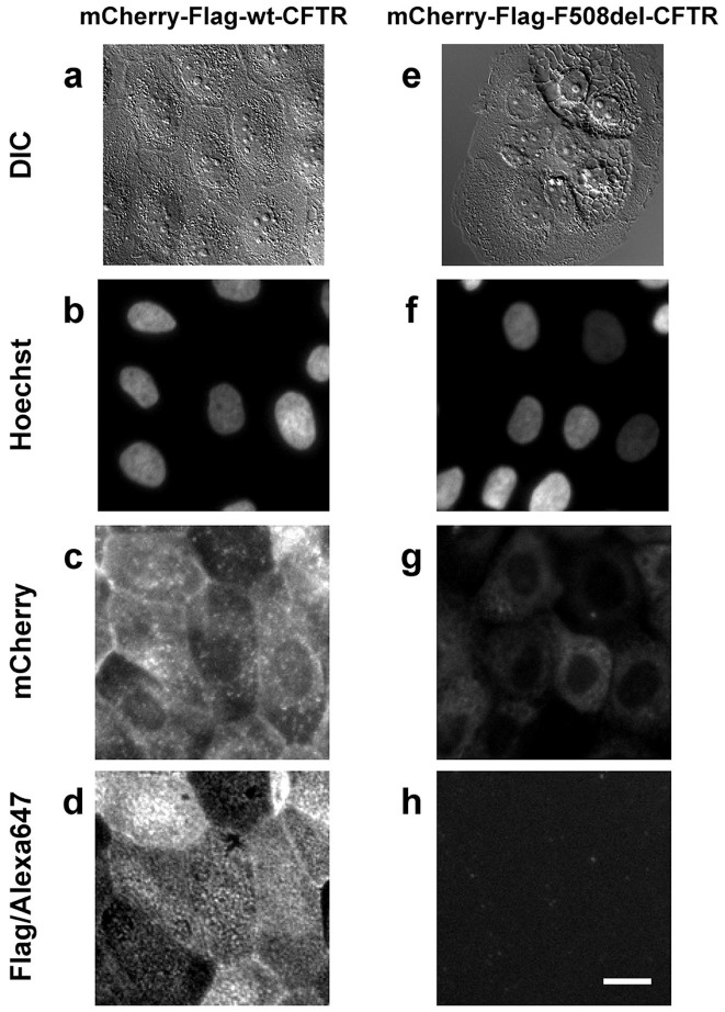 Microscopy features of the CFBE cell lines expressing mCherry-Flag-wt-CFTR (a–d) or mCherry-Flag-F508del-CFTR (e–h). Cells were grown in the presence of 1 μg/ml Dox so as to induce CFTR expression. DIC bright field images (a, e) showing an overall cell morphology reminiscent of CFTR localization, especially for F508del-CFTR, where its ER accumulation is visible. Widefield fluorescence images show triply labelled unpermeabilized cells. Nuclei are stained with hoechst 33342 (b, f), mCherry fluorescence is proportional to the total amount of expressed CFTR (c, g) and Alexa Fluor® 647 (immuno)fluorescence is proportional to the amount of Flag tags exposed extracellularly ( i.e. CFTR molecules present at the PM) (d, h). Fluorescence images were obtained under equivalent conditions for both cell lines. Scale bar = 20 μm.