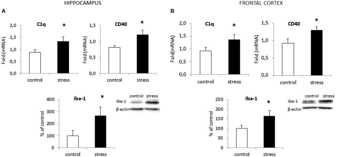 Prenatal stress enhances the expression of surface markers: CD40 and C1q and protein level of Iba1 in the hippocampus (A) and the frontal cortex (B) in adult rats . The mRNA expression is presented as the average fold ± SD, n = 6 in each group, * p