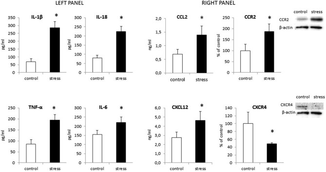 The impact of prenatal stress on protein levels of cytokines: IL-1β, IL-18, TNF-α and IL-6 (left panel) and chemokines: CCL2, CXCL12 and their receptors: CCR2, CXCR4 (right panel) in microglial cells . Protein levels obtained from ELISA are shown as pg/ml or ng/ml ± SD from 3 independent experiments ( n = 8 in each group); The results from western blot analyses are normalized with β-actin and presented as % of control ± SD from 3 independent experiments ( n = 6 in each group); * p