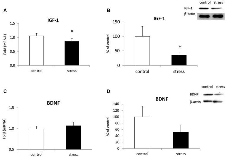 The impact of prenatal stress on mRNA expression and release of IGF-1 (A,B) and BDNF (C,D) in microglial cells in cultures . The results of qRT-PCR analyses are expressed as the average fold ± SD. The results from western blot analyses are normalized with β-actin and presented as the % of control ± SD from 3 independent experiments ( n = 6 in each group), * p