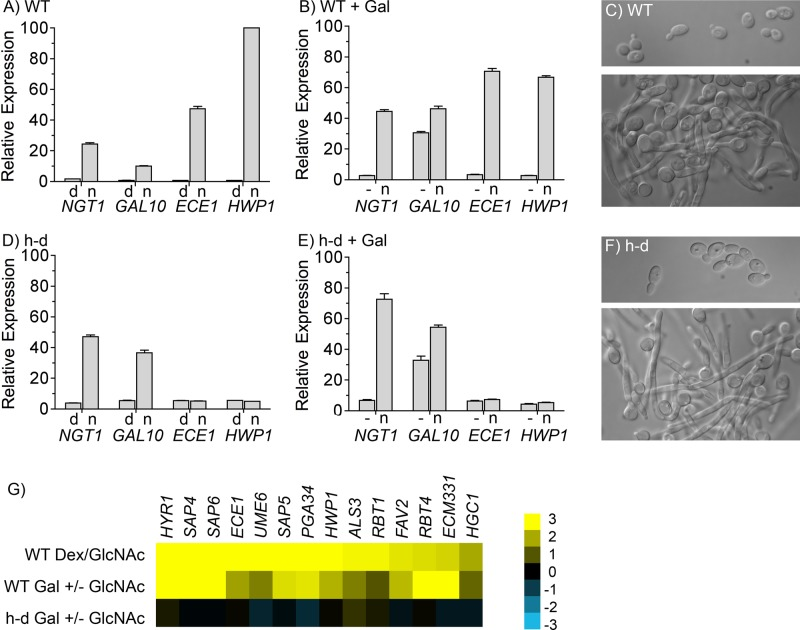 GlcNAc stimulates the h-d mutant to form hyphae but does not induce hyphal-specific genes at low ambient pH. qRT-PCR analysis of the relative expression of the indicated genes normalized to the expression of actin ( ACT1 ) in each cell type. Cells were grown at 37°C at low ambient pH (∼pH 4) in synthetic medium containing amino acids. (A, D) wild-type control and h-d strains were grown to log phase in medium containing 50 mM dextrose and amino acids at 37°C, washed, and then incubated in similar medium containing 50 mM dextrose or 50 mM GlcNAc for 2 h. Cells grown in dextrose are labeled d, and those grown with GlcNAc are labeled n. (B, E) Wild-type control and h-d strains were grown in synthetic medium containing 50 mM galactose, and then 50 mM GlcNAc was added to one portion for 2 h. (C, F) Top, morphology of wild-type control and h-d cells grown in dextrose; bottom, cells grown in GlcNAc medium. (G) Summary of microarray analyses carried out in duplicate, showing the relative expression of the most highly induced hyphal-specific genes for the indicated strains and growth conditions. Scale bar on right, (log 2)-fold change in expression. The wild-type control strain was DIC185, and the h-d mutant strain was AG738. Cells were grown at 37°C at low pH (pH 4) in synthetic medium containing amino acids. Error bars on graphs indicate SD.