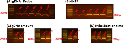 Comparison of capture efficiencies under different conditions. The effects of varying ( A ) the gDNA:probe ratio, and ( B ) the amount of dNTPs are shown. Band intensity (∼200 bp, red arrows) is proportional to the amount of captured product on each of the capture parameters, because the number of PCR cycles was held constant at 26 cycles. The amount of captured products was saturated at 1:500 gDNA:probe ratio and 10x dNTPs. ( C ) and ( D ) Captured products were detected around 200 bp for all conditions, and only products in these bands were separated and used for further analysis.