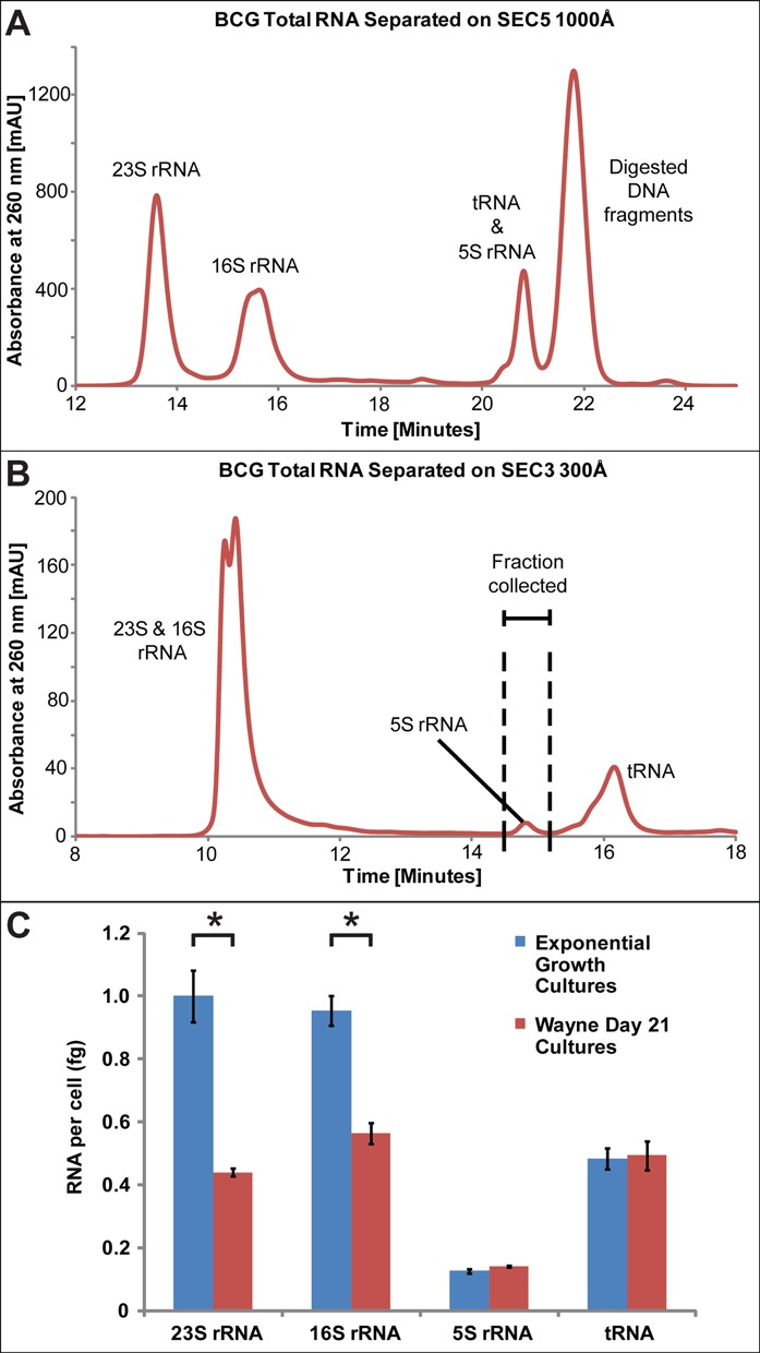 Size-exclusion HPLC chromatograms for individual RNA species. BCG total RNA was resolved on an Agilent Bio Size Exclusion Column SEC5, 1000 Å ( A ), or on an Agilent Bio Size Exclusion Column SEC3, 300 Å ( B ). Panels (A) and (B) are representative of six independent HPLC runs. ( C ) Cellular quantities of 5S, 16S and 23S rRNA and tRNA species based on HPLC UV absorbance interpolated from a standard curve based on purified human 28S rRNa. An asterisk indicates a significant difference in the quantity of RNA from exponentially growing cells compared to hypoxic cells on day 21 (unpaired T-test, P ≤ 0.05). Data represent mean ± SD for three biological replicates.