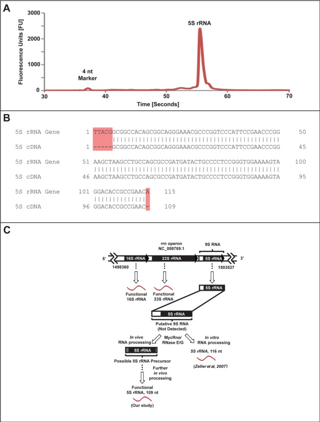 Purification and sequencing of BCG 5S rRNA and a proposed model for 5S rRNA processing. ( A ) A Bioanalyzer electropherogram for HPLC-purified 5S rRNA shows high purity. ( B ) Comparison of sequenced 5S rRNA against its annotated gene sequence. A total of six nucleotides are absent from the sequenced 5S rRNA (highlighted in red). ( C ) Possible fates of the putative 9S RNA, a precursor of functional 5S rRNA. Zeller et al . demonstrated in vitro processing of 9S rRNA to a 116-nt 5S rRNA by MycRNE/RNase E/G ( 44 ), while our analysis reveals different or further in vivo processing to yield a 109-nt functional 5S rRNA molecule.