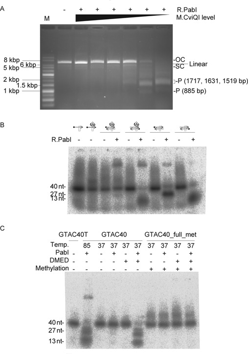 Inhibition of R.PabI activities by methylation. ( A ) Inhibition of strand cleavage. Plasmid pBAD30_ cviQIM (Supplementary Figure S1) with a gene for M.CviQI, which generates 5′-GTm6AC as M.PabI does, under control of the pBAD promoter was prepared from cultures with varying concentrations of arabinose, its inducer. After incubation with R.PabI at 85°C for 6 h, the plasmid DNAs were subjected to 0.8% agarose gel electrophoresis. OC, open circle; SC, supercoiled; P, product <t>DNA.</t> Left lane: 1 kb DNA Ladder. ( B ) Strand-specific inhibition of cleavage in hemimethylated double-stranded DNA. A 40-mer single-stranded (GTAC40T or GTAC40Tme, Supplementary Table S2) or double-stranded (GTAC40_hemi_met or GTAC40, Supplementary Table S2) substrate (1 pmol, 100 nM) with a 32 P-label (black dot) at the 5′-end of either strand was incubated with R.PabI (9.2 pmol, 920 nM) at 85°C for 3 h. Products were separated by 10% denaturing PAGE. Box, recognition sequence (5′-GTAC). Me diamond, methylation of the top strand. Cleavage at the recognition sequence resulted in 27-mer and 13-mer oligonucleotides. The supershifted bands near the top of the gel are likely DNA–R.PabI complexes (see also Figure 5 and related text). ( C ) Inhibition of DNA glycosylase. A 40-mer double-stranded substrate (GTAC40 or GTAC40_full_met (Supplementary Table S2), 1 pmol, 100 nM) with a 32 P -label at the 5′ end of both strands was incubated with R.PabI (9.2 pmol, 920 nM) and then treated with 0.1 M DMED at <t>37°C</t> for 1 h. Products were separated by 10% denaturing PAGE.
