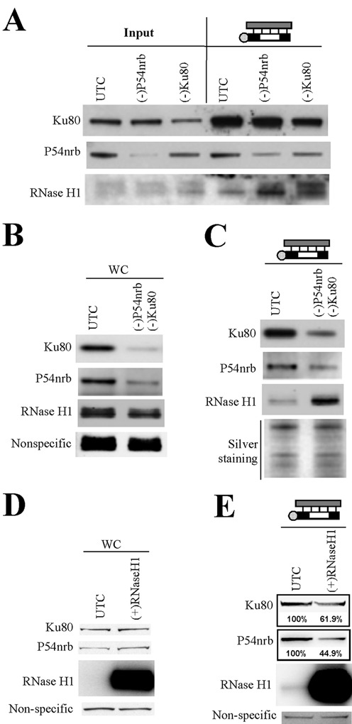 Ku80 and P54nrb compete with RNase H1 for binding to ASO/RNA duplex. ( A ) Reduction of P54nrb or Ku80 protein levels by siRNA treatment increased the binding of RNase H1 protein to the ASO/RNA-like duplex, as determined by affinity selection using an ASO/RNA-like duplex, followed by western analyses. ( B ) Simultaneous treatment with siRNAs targeting P54nrb and Ku80 reduced levels of both proteins, as shown by western analysis. ( C ) Simultaneous reduction of P54nrb and Ku80 led to a significant increase in the binding of RNase H1 to the ASO/RNA-like duplex. Silver staining of an aliquot of the affinity selected proteins analyzed on a separate SDS-PAGE is shown as a loading control. ( D ) The protein levels of RNase H1, Ku80 and P54nrb in control cells (UTC) or cells over-expressing RNase H1 were evaluated by western blot. ( E ) Over-expression of RNase H1 led to reduced binding of P54nrb and Ku80 proteins to the ASO/RNA-like duplex, as determined by affinity selection followed by western analyses. The numbers below the lanes indicate the estimated protein level relative to control.