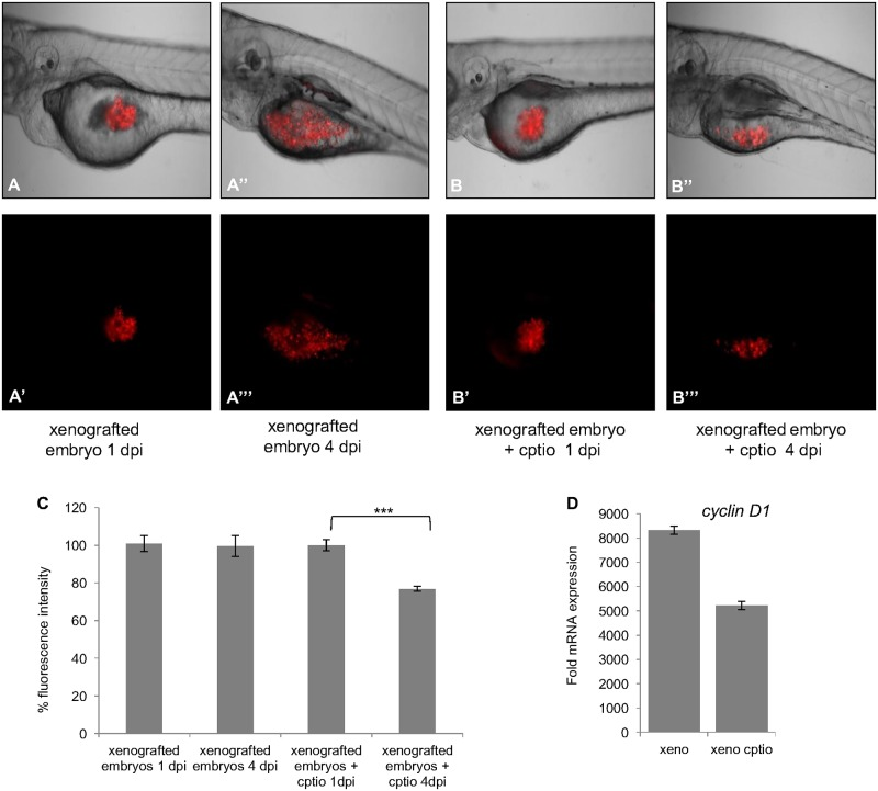"""The effect of NO on tumor growth. CM-Dil labeled glioma cells were injected into the yolk of zebrafish embryos at 2 dpf and incubated with CPTIO (200μM). Images were taken at 1 dpi and 4 dpi. Images (A-A""""') and (B-B""""') show the tumors at 1 dpi and 4 dpi for control and CPTIO treated embryo. At 4 dpi, tumors have increased in size in untreated embryos (A""""-A""""') in comparison to CPTIO treated embryos (B""""-B""""'). (C) Percentage of fluorescence intensity of the tumor surfaces was determined by ZEN software (n = 10). Images were taken with an <t>Axio</t> zoom <t>V16</t> (Zeiss) macroscope, with the same exposure time for all embryos. Error bars represent SEM, *** p"""