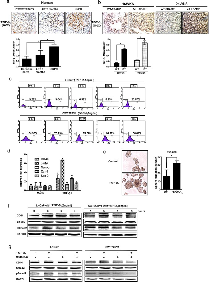 TGFβ1 can activate the dedifferentiation of PCa cells, leading to increased CD44+ S/P cell population (a) TGFβ1 was detected by IHC in human PCa samples before ADT, after ADT for 3 month, and of CRPC specimens. TGFβ 1 expression was increased after ADT therapy. (b) TGFβ1 and phospho-Smad2/3 expression were increased in 16wks and 24wks castrated TRAMP prostate tumors comparing to wt TRAMP tumors. (c) TGFβ 1 could expanse CD44 + cell population in vitro . LNCaP cells and CWR22rv1 cells were treated by 5ng/ml TGFβ 1 for 3, 6, 9, and 12hrs. The CD44 + cell population was separated by flow cytometry. (d) 5ng/ml TGFβ 1 increased the expression of cancer stem-like cell markers, including CD44, Oct-4, c-met, nanog and sox2 in LNCaP cells by real-time PCR assay. Data are in triplicate from three independent experiments and were normalized to GAPDH. All data are expressed as mean±S.D. (e) 5ng/ml TGFβ 1 could also induce more sphere formation the character of S/P cells, compared to non-treatment LNCaP cells. Quantitation of the numbers of spheres (diameter > 40μm) are presented as the mean SD ( Scale bar, 100μm). (f) 5ng/ml TGFβ 1 could up-regulate the expression of CD44 in LNCaP and CWR22RV1 cells via Western blot assay.(g) Importantly, We also applied interruption approach via using SB431542 to block TGFβ 1 signaling and found CD44 expression decreased in Western blot assay. Significance was defined as p