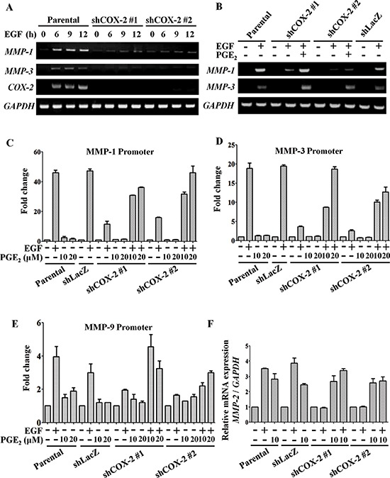EGF-induced COX-2 enhances expression of MMP-1, MMP-2, MMP-3 and MMP-9 HONE1, shLacZ and shCOX-2 cells were treated with 10 μM PGE 2 or 50 ng/ml EGF in serum-free medium for the indicated period of time. (A, B) Total <t>RNA</t> was extracted for reverse-transcription <t>PCR</t> with MMP-1, MMP-3, COX-2 and glyceraldehyde-3-phosphate dehydrogenase ( GAPDH ) primers. (C–E) Cells were transfected with MMP-1 , MMP-3 and MMP-9 promoters using lipofection. Cells were treated with 50 ng/ml EGF and 10 or 20 μM PGE 2 in serum-free medium for 24 h. Luciferase activity and protein concentrations were then determined and normalized. Values represent means ± S.E.M. of three determinations. (F) Cells were treated with 50 ng/ml EGF or 10 μM PGE 2 in serum-free medium for 9 h. The mRNA level of MMP-2 was measured and normalized to GAPDH by real-time PCR. Values represent means ± S.E.M. of three determinations.