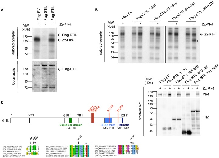 Phosphorylation of STIL by Plk4. (A) Full-length Flag-STIL expressed in HEK293T cells and immunoprecipitated with anti-Flag antibodies was incubated with bacterially expressed Zz-Plk4 in the presence of [γ- 32 P]-ATP. In vitro kinase assay with Flag-STIL or Plk4 alone served as a control. Kinase assays were analyzed by SDS-PAGE, Coomassie Blue staining and autoradiography. (B) Indicated Flag-STIL fragments were expressed in HEK293T cells and immunoprecipitated with anti-Flag antibodies. Immunoprecipitation fractions were incubated with bacterially expressed Zz-Plk4 in the presence of [γ- 32 P]-ATP, followed by SDS-PAGE and autoradiography. In vitro kinase assay with Flag-STIL fragments or Plk4 alone is shown as control. The asterisk indicates phosphorylated Flag-STIL 781-1287. 10% of each precipitation fraction was analyzed by western blotting using anti-Plk4 and anti-Flag antibodies. (C) Plk4 phosphorylation sites in the STIL protein identified by mass spectrometry analysis of bacterially purified GST-STIL 1-619 and 619-1287 phosphorylated in vitro by Zz-Plk4. Alignment of the identified sites in human, mouse, Xenopus and zebrafish STIL and Drosophila Ana2 is shown.
