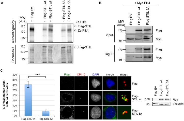Phosphorylation of STIL by Plk4 triggers centriole duplication. (A) Flag-STIL full-length or 5A mutant (S871A/S873A/S874A/S1116A/T1250A) expressed in HEK293T cells and immunoprecipitated with anti-Flag antibodies was incubated with bacterially expressed Zz-Plk4 in the presence of [γ- 32 P]-ATP. In vitro kinase assay with Flag-STIL or Plk4 alone served as a control. Kinase assays were analyzed by SDS-PAGE, Coomassie Blue staining and autoradiography. (B) Co immunoprecipitation of Flag-STIL wt/5A and Myc-Plk4. Lysates from HEK293T cells transfected with the indicated plasmids were subjected to immunoprecipitation using anti-Flag antibodies. Input and IP samples were analyzed by western blotting with antibodies against Flag- and Myc-tag. The asterisk marks an unspecific band recognized by the anti-Myc antibody. The dividing lane indicates grouping of images from different parts of the same gel, as an intervening lane was removed for presentation purposes. (C) U2OS cells transiently expressing Flag EV, Flag-STIL wt or Flag-STIL 5A were analyzed by indirect immunofluorescence using staining with anti-CP110 and mouse anti-Flag antibodies 72 h after transfection. The number of transfected cells with more than four centrioles was determined based on CP110 staining. Values in the graph are mean percentages±s.d. from three independent experiments, 50 transfected cells were analyzed in each experiment (***P