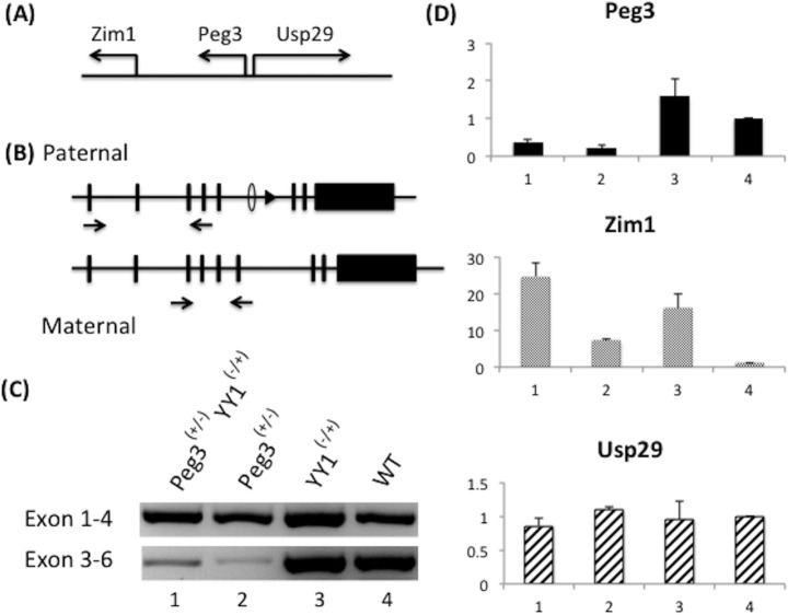 Effects of Yy1 gene dosage on the Peg3 imprinted domain. ( A ) Genomic structure of the Peg3 imprinted domain: maternally expressed Zim1 and paternally expressed Peg3 and Usp29 . ( B ) The current study used two sets of RT-PCR primers for Peg3 : the first set amplifying exons 1–4 and the second set amplifying exons 3–6. ( C ) RT-PCR analyses of the progeny derived from Breeding I (female Yy1 heterozygotes X male Peg3 DelKO heterozygotes). RT-PCR amplifying exons 1–4 and exons 3–6 were performed using the total RNA isolated from the neonatal brains with 4 genotypes (lanes 1–4). In the case of RT-PCR amplifying exons 1–4, the PCR products from the pups with four genotypes represent the expression from the paternal allele since Peg3 is paternally expressed. In the case of RT-PCR amplifying exons 3–6, the PCR products from the pups with two genotypes (lane 3, Yy1-/+; lane 4, WT) still represent the expression from the paternal allele of Peg3 , but the products from the pups with the two other genotypes (lane 1, Yy1-/+ Peg3+/-; lane 2, Peg3+/-) represent the expression from the maternal allele. The mRNA from the paternal allele of Peg3 , DelKO, cannot be detected by the RT-PCR amplifying exons 3–6 since the exon 6 is deleted in the DelKO allele. ( D ) Quantitative RT-PCR analyses using the total RNA isolated from the pups with four genotypes: Yy1-/+ Peg3+/- (1), Peg3+/- (2), Yy1-/+ (3), WT (4). The expression values of each gene were normalized first with an internal control ( 28S ) and later with the values from the WT pup (lane 4). The expression levels of Peg3 were analyzed using the primer set amplifying exons 1–4, thus representing the expression levels of the paternal allele. This series of qRT-PCR analyses were repeated three independent times from cDNA synthesis to qRT-PCR. Error bars indicate standard deviations for observed triplicates.