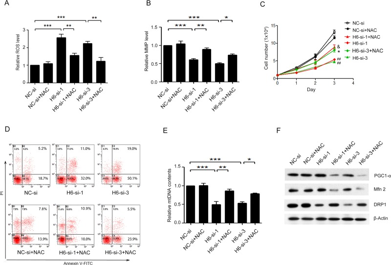 NAC blocked HDAC6 siRNA-induced apoptosis and mitochondrial dysfunction in A375.S2 cells. ( A ) ROS generation and ( B ) mitochondrial membrane potential (MMP) level were detected using DCFH2 and JC-1 staining respectively in H6-si-1 or-3-treated and NC-si-treated A375.S2 cells after pretreatment with or not with 5 mM NAC for 60 min. ( C ) The growth condition of H6-si-1 or-3 treated A375.S2 cells after pretreatment with or not with NAC ( ## P