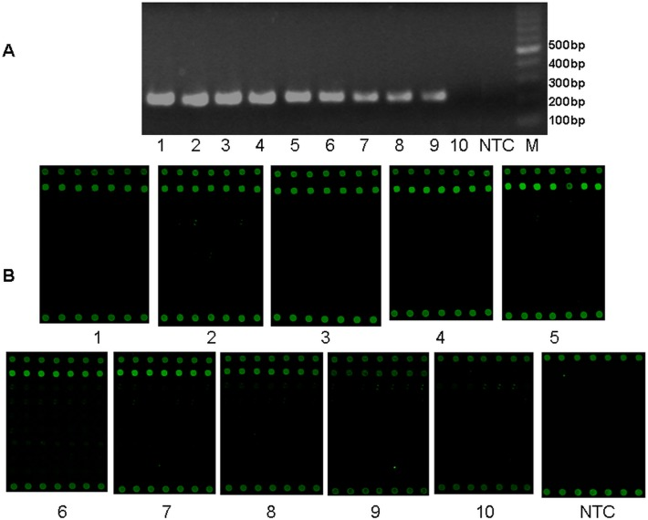 Detection sensitivity of multiplex-PCR-microarray for HHVs. The detection sensitivity was estimated for HHVs (HSV1) by multiplex RT-PCR and microarray. A. Multiplex RT-PCR result from serial diluted recombinant HSV1 control; B. The microarray result after amplification and hybridization. M: 1 Kb DNA ladder; NTC: no template control. Numbers 1–10: Serial 10-fold dilutions of recombinant HSV1 control. 1: 6×10 8 copies/μl; 2: 6×10 7 copies/μl; 3: 6×10 6 copies/μl; 4: 6×10 5 copies/μl; 5: 6×10 4 copies/μl; 6: 6×10 3 copies/μl; 7: 6×10 2 copies/μl; 8: 6×10 1 copie/μl; 9: 6×10 0 copies/μl; 10: 6×10 –1 copies/μl.