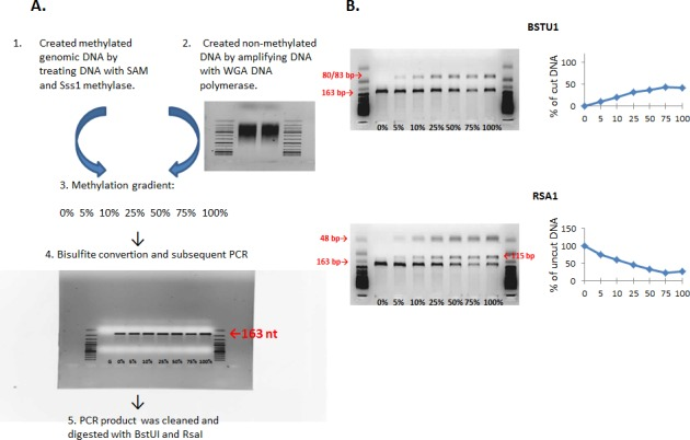 A. Preparation of methylation gradient for testing primers for the COBRA assay. Steps of preparation of methylation gradients (0% - 100% methylation) by mixing fully unmethylated and fully methylated DNA. B. A methylation standard after the digestion of bisulfite treated DNA with BstUI and RsaI restriction endonucleases. The higher the percentage of the cut 163-bp fragment by BstUI, the higher the methylation status of DNA. The higher the percentage of the uncut 163-bp fragment, the lower the methylation status of DNA.