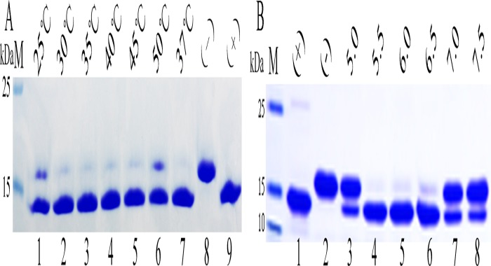 Analyzing the characteristics of Endo H-P through mobility shift assay of RNase B. (A).Identifying the optimum temperature of Endo H-P with SDS-PAGE. M protein molecular weight markers (the size of each band was indicated on the left);Lane 1 to Lane 6 denatured RNase B treated with concentrated Endo H-P at 25°C, 30°C, 35°C, 40°C, 45°C and 50°C, respectively; Lane 7 denatured RNase B treated with concentrated Endo H-P at 37°C, respectively;Lane 8 the negative control (RNase B without treatment); Lane 9 the positive control (overdose of Endo H-P was added to the reaction system);(B). Identifying the optimum temperature of Endo H-P with SDS-PAGE. M protein molecular weight markers (the size of each band was indicated on the left);Lane 1 the positive control (overdose of Endo H-P was added to the reaction system); Lane 2 the negative control (RNase B without treatment);Lane 3–8 denatured RNase B treated with Endo H-P at pH5.0, 5.5, 6.0, 6.5, 7.0 and 7.5, respectively.