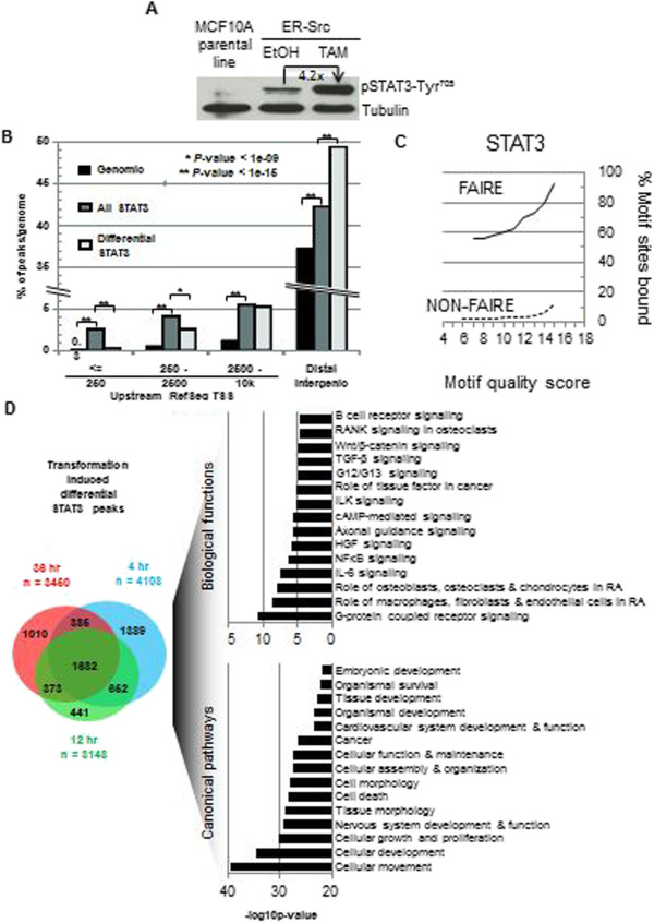 """STAT3 binding profiles before and during transformation. (A) Western blots of protein extracts from TAM-treated MCF10A-ER-Src cells. (B) Distribution of STAT3 occupancy at RefSeq gene features. """"All STAT3"""" represents all treatments/time points, i.e., cumulative. """"Differential"""" refers to STAT3 occupancy in transformed cells only. (C) Occupancy of STAT3 DNA binding site motifs by STAT3 protein, as a function of increasing motif quality score, within FAIRE-seq regions and in non-FAIRE regions. Data was from all STAT3 conditions/time points. (D) Gene ontology terms associated with transformation differential STAT3 ChIP-seq sites and the overlap between at 4, 12, and 36 h post TAM treatment."""