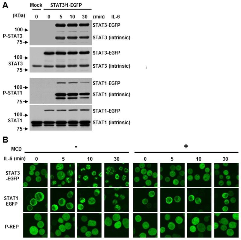 IL-6-induced S.TAT3 and STAT1 nuclear translocation is required for the integrity of lipid rafts. (A) CD45 + U266 cells were transfected with untagged (mock) or STAT1-EGFP, STAT3-EGFP expression plasmids, and either treated or untreated with IL-6 at different time points. Immunoblotting was performed as above. (B) Subcellular distribution of STATs-EGFP fusion proteins. Nuclear translocation of both STAT3-EGFP and STAT1-EGFP was evaluated by live cell imaging. Cells were pre-incubated with or without 10 mM MCD for 30 minutes and then stimulated with 10 ng/ml of IL-6 and images were generated at different time points. P-REP was used as a mock vector, which expresses EGFP. Data shown are representative of three experiments.