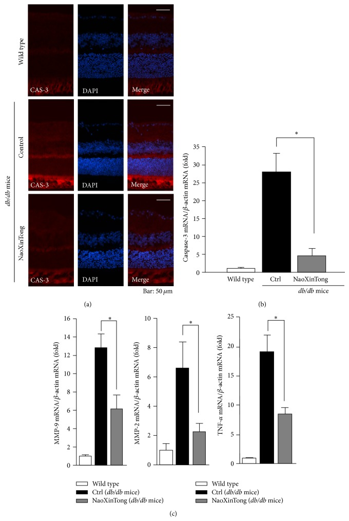 NXT inhibits diabetes-induced CAS-3 expression. (a) The frozen sections of mouse eyeballs from each group were prepared and CAS-3 protein expression was determined by immunofluorescent staining as described in Section 2 . Bars: 50 μ m. (b) CAS-3 mRNA expression in the retinas was determined by real time RT-PCR analysis. (c) TNF- α , MMP-2 and MMP-9 mRNA expression in the retinas was determined by real time RT-PCR analysis. ∗ P