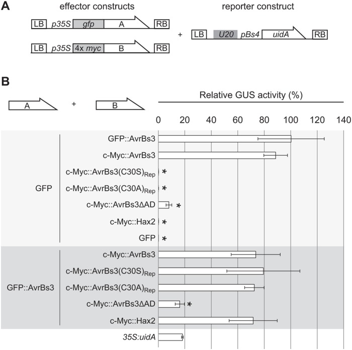 AvrBs3 cysteine mutants do not compete with AvrBs3 for DNA binding in planta . ( A ) T-DNA constructs used. Two different effector constructs, A and B, allow expression of (A) GFP- or (B) 4× c-Myc tagged AvrBs3 and derivatives under control of the 35S promoter. The reporter construct contains the 19-bp UPA20 UPA box in front of the tomato Bs4 minimal promoter driving a promoterless uidA reporter gene [ 48 ]. LB, left border; RB, right border. ( B ) GUS activity was determined in N . benthamiana leaves three days after Agrobacterium -mediated co-delivery of the reporter construct with the avrBs3 - or gfp construct (effector construct A) and effector construct B encoding one of the indicated proteins. Values are displayed relative to the GUS activity induced by GFP and WT AvrBs3. Error bars indicate SD. 35S : uidA served as control. Asterisks indicate statistically significant differences to the GUS activity induced by GFP and WT AvrBs3 ( t -test, P