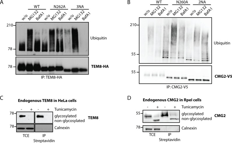 Non-glycosylated TEM8 is an ER quality control and ERAD substrate. A) HeLa cells were transfected for 48h with the respective cDNAs. Cells were treated or not with MG132, an inhibitor of the proteasome or Bafilomycin A1, a drug preventing endosomal acidification and thus lysosomal degradation. Immunoprecipitates against TEM8-HA were analyzed by SDS-PAGE and Western Blotting against Ubiquitin and TEM8-HA. B) HEK cells stably expressing CMG2 under the control of a tetracycline inducible promotor were induced for 24h with 0.1μg/ml doxycycline. Cells were treated or not with MG132 or Bafilomycin A1. Immunoprecipitates against CMG2-V5 were analyzed by SDS-PAGE and Western Blotting against Ubiquitin and CMG2-V5. C) HeLa cells were treated or not with tunicamycin, an antibiotic blocking the co-translational transfer of glycan sidechains in the ER by blocking the oligosaccharyltransferase (OST) for 16h. Surface proteins were labeled with biotin and immunoprecipitates against streptavidin were analysed for TEM8 or Calnexin as a negative control. D) RpeI cells were treated or not with tunicamycin for 16h. Surface proteins were labeled with biotin and immunoprecipitates against streptavidin were analysed for CMG2 or Calnexin as a negative control.