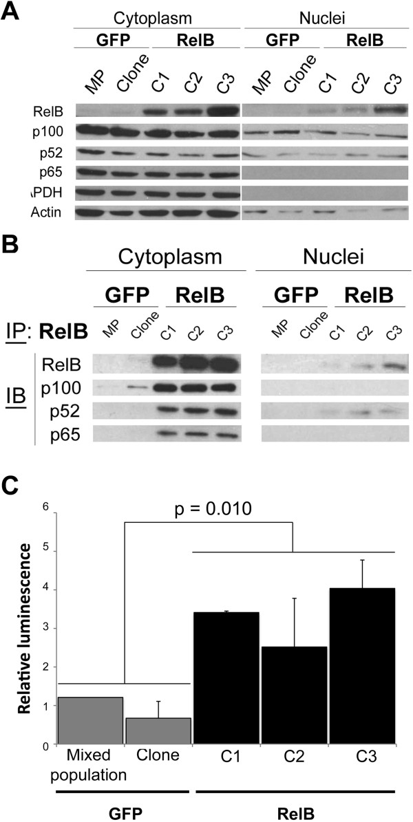 RelB sub-cellular localization and alternative NF-κB activity in 22Rv1-derived cells. A) Cellular distribution of the main NF-κB subunits analyzed by immunoblotting on protein extracts of cytoplasmic and nuclear compartments from RelB clones and GFP control cells. Actin was used as loading control for both cytoplasmic and nuclear protein extracts whereas GAPDH was used as a purity indicator for nuclear protein extracts. B) Immunoprecipitation of RelB from cytoplasmic and nuclear compartments protein extracts from RelB clones and GFP control cells. Immunoblot analyses of p100, p52 and p65 were performed from immunoprecipitated RelB fraction. C) NF-κB transcriptional activity by luciferase gene-reporter assay. RelB clones and GFP control cells were co-transfected with p3enh-κB-CONAluc (Firefly luciferase) and phRL-CMV (Renilla luciferase). Normalized data for each cell population presented are the luminescence ratio Firefly luc/Renilla luc . Experiments were done three times in triplicate. Error bars represent the standard error of the mean and p