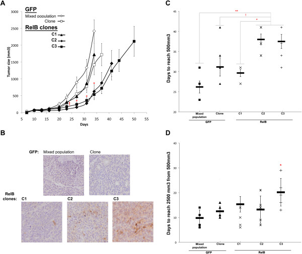 RelB expression effect on 22Rv1 induced-tumor formation in a SCID mouse model. Analysis of 22Rv1-induced tumor growth. 250,000 22Rv1 RelB or GFP cells suspended in matrigel solution (5 mg/mL) were injected subcutaneously in the flank of 6-weeks old SCID mice. For each 22Rv1 cell population, 6 mice were injected. A) Tumor size was graphically represented across time. For each group of mice, the last point of the curve corresponds to the time of the first mouse sacrifice. Error bars represent the standard error of the mean. Significant variation between C2- and C3-RelB mouse groups individually compared to each GFP control (MP and clone) and C1-RelB mouse groups is illustrated by (*) on graph whereas (!) represents a significant variation between C2 and C3 RelB mice individually compared to MP GFP control group (Kruskal-Wallis test). B) Immunohistochemical staining of RelB illustrating its expression status on harvested 22Rv1-induced tumors. C) Time for 22Rv1-induced tumors to reach 500 mm 3 . On graph, (*) illustrated a p