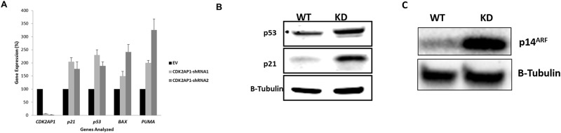 Knockdown of CDK2AP1 increases the expression of p53, p21 and the Apoptotic Genes BAX and PUMA . Panel A: HDFs transduced with EV, CDK2AP1-shRNA1 or CDK2AP1-shRNA2 were harvested and analyzed for the mRNA expression of p53 , p21 , BAX and PUMA . Knockdown of CDK2AP1 in HDFs increased the expression of these genes. Panel B: Whole cell lysates were extracted from wild and knockdown HDFs and analyzed for p21 and p53 levels by Western Blot. Panel C: Whole cell lysates were extracted from wild and knockdown HDFs and analyzed for p14 ARF by Western Blot.